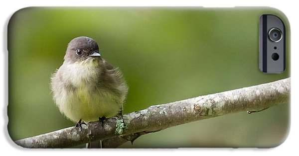 One iPhone Cases - Eastern Phoebe - Sayornis phoebe iPhone Case by Christy Cox