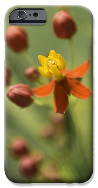 4th July iPhone Cases - Emergence - Asclepias Curassavica - Butterfly Milkweed - South Carolina Botanical Gardens iPhone Case by Johan Hakansson