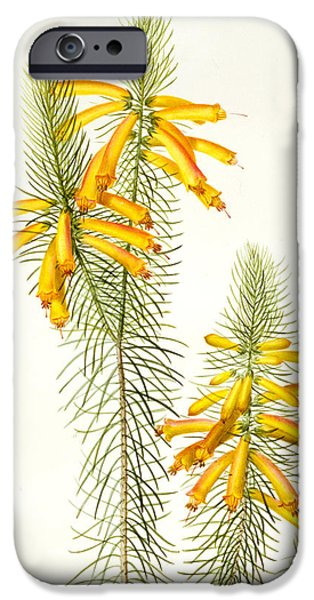 Flora Drawings iPhone Cases - Erica Grandiflora iPhone Case by Pierre Joseph Redoute