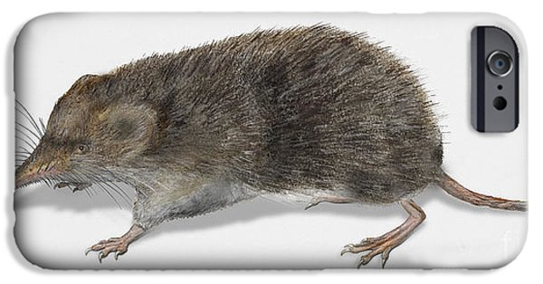Nature Study Drawings iPhone Cases - Eurasian Common Shrew Sorex araneus - Musaraigne carrelet - musa iPhone Case by Urft Valley Art
