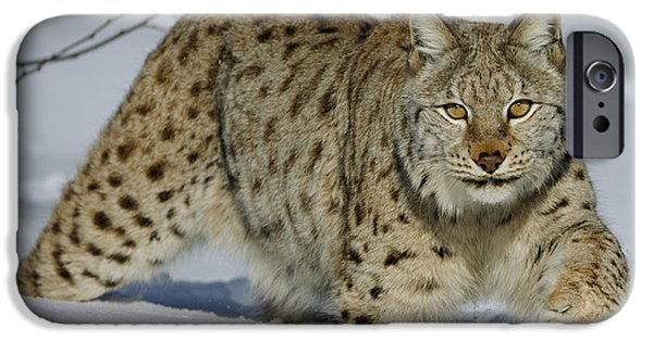 Felidae iPhone Cases - Eurasian Lynx  In Snow iPhone Case by Willi Rolfes