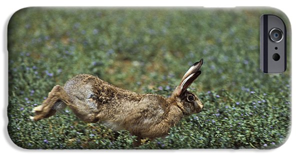 Brown Hare iPhone Cases - European Brown Hare Lepus Europaeus iPhone Case by Gerard Lacz