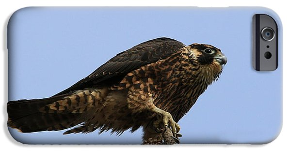 Young iPhone Cases - Falcon On A Stick iPhone Case by Craig Corwin