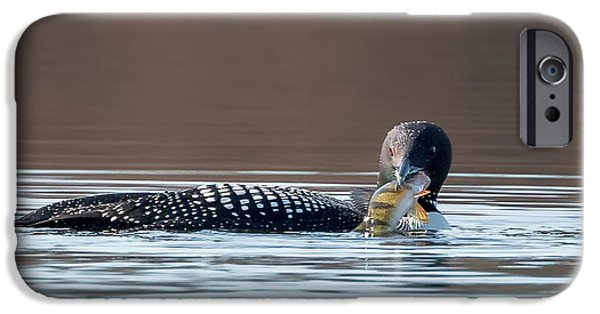 Loon iPhone Cases - Feeding Common Loon Square iPhone Case by Bill Wakeley