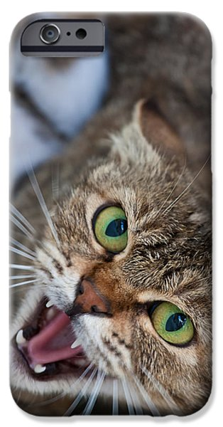 Gray Hair iPhone Cases - Ferocious domestic cat with open mouth iPhone Case by Greg Brave