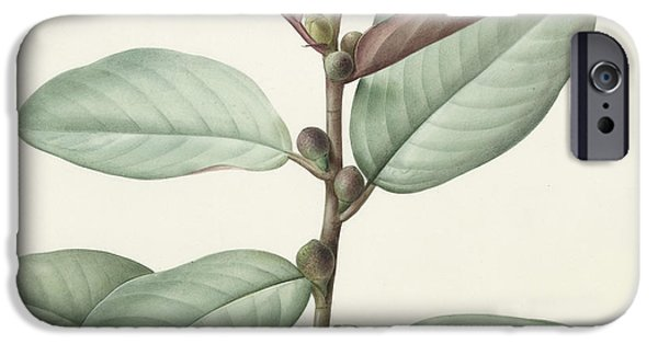 Flora Drawings iPhone Cases - Ficus Rubeginosa iPhone Case by Pierre Joseph Redoute