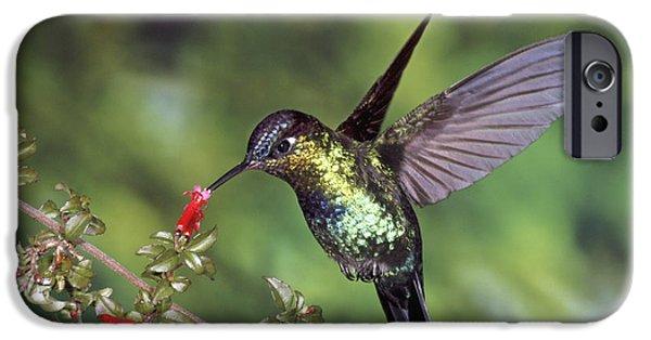 Vertebrata iPhone Cases - Fiery-throated Hummingbird Panterpe iPhone Case by Michael & Patricia Fogden
