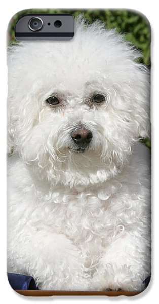 Fifi the Bichon  iPhone Case by Michael Ledray