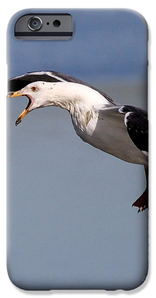 Seagull iPhone Cases - Flight of the Screaming Gull . 7D4934 iPhone Case by Wingsdomain Art and Photography