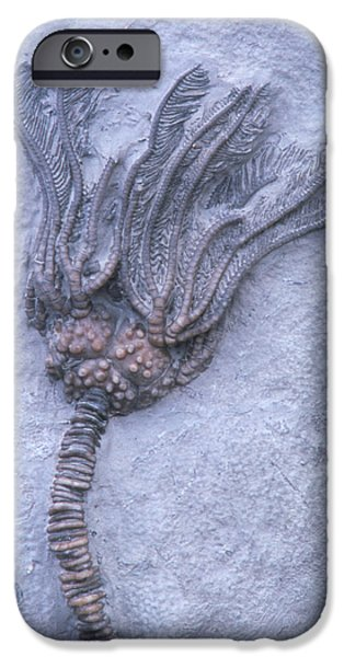 Fossil iPhone Cases - Fossil Crinoid Or Sea Lily iPhone Case by Kaj R. Svensson
