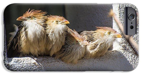 Cuckoo iPhone Cases - Four Stooges - Guira Cuckoos iPhone Case by Gary Whitton