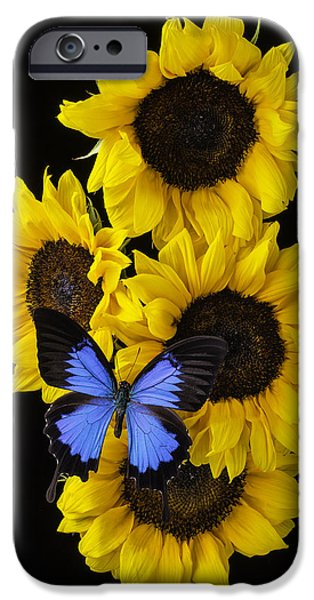 Insects Photographs iPhone Cases - Four Sunflowers And Blue Butterfly iPhone Case by Garry Gay