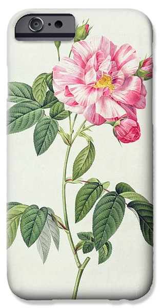 Plant Drawings iPhone Cases - French Rose iPhone Case by Pierre Joseph Redoute