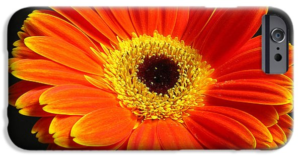 Close Up Floral iPhone Cases - Gerber Daisy Portrait iPhone Case by Juergen Roth