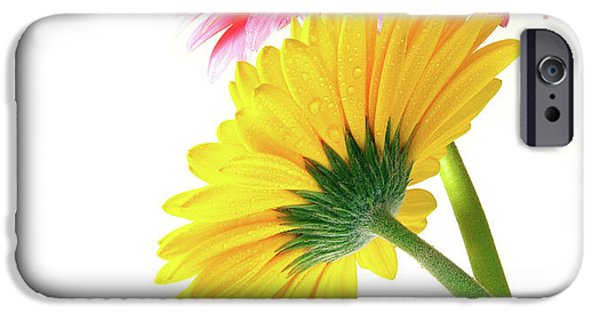 Pollen iPhone Cases - Gerber Flowers iPhone Case by Carlos Caetano