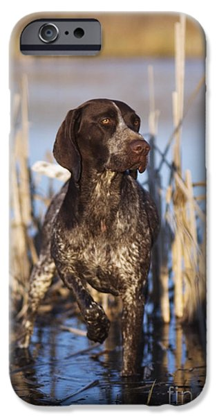 Cattails iPhone Cases - German Shorthair On Point -  D000897 iPhone Case by Daniel Dempster