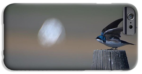 Barn Swallow iPhone Cases - Getting ready to Fly  iPhone Case by Tory Stephens