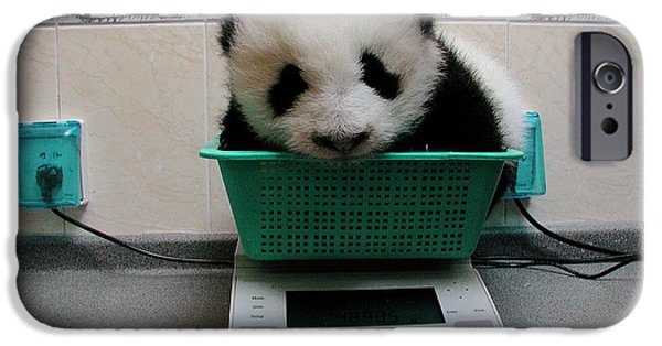 The Nature Center iPhone Cases - Giant Panda Ailuropoda Melanoleuca Baby iPhone Case by Katherine Feng