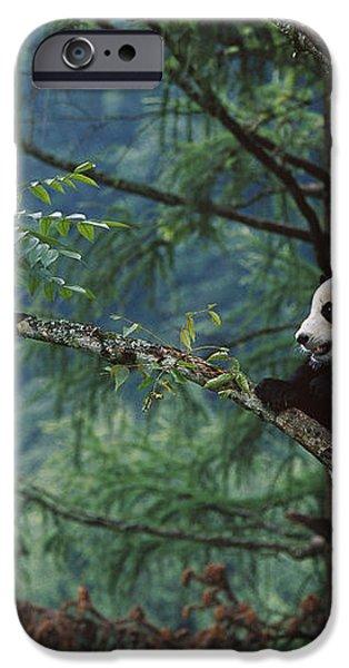 Giant Panda Ailuropoda Melanoleuca iPhone Case by Cyril Ruoso