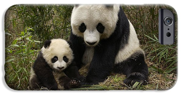 The Nature Center iPhone Cases - Giant Panda Ailuropoda Melanoleuca iPhone Case by Katherine Feng