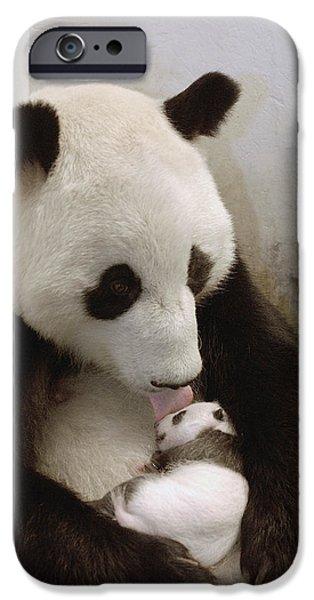 The Nature Center iPhone Cases - Giant Panda Ailuropoda Melanoleuca Xi iPhone Case by Katherine Feng