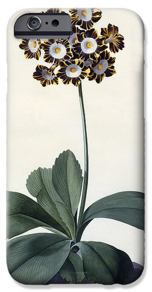 Flora Drawings iPhone Cases - Glory of Chilton iPhone Case by Georg Dionysius Ehret
