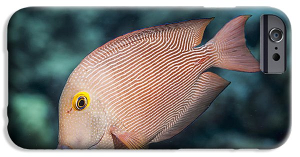 Undersea Photography iPhone Cases - Goldring Surgeonfish  Ctenochaetus iPhone Case by Thomas Kline