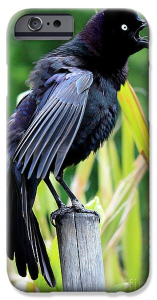 Action Shot iPhone Cases - Grackle Love Song iPhone Case by Carol Groenen