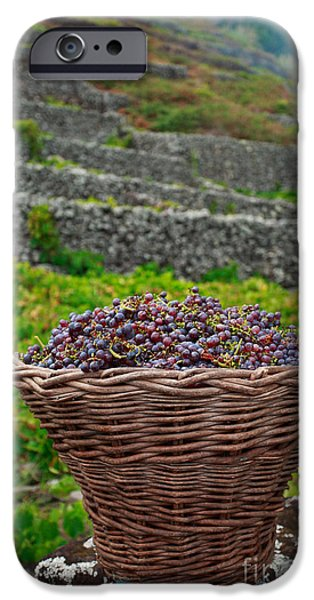 Basket iPhone Cases - Grape harvest iPhone Case by Gaspar Avila