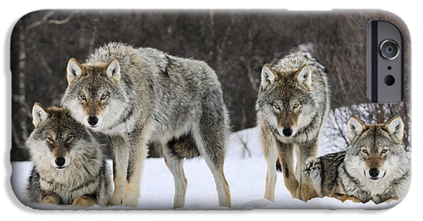 Fauna iPhone Cases - Gray Wolf Canis Lupus Group, Norway iPhone Case by Jasper Doest