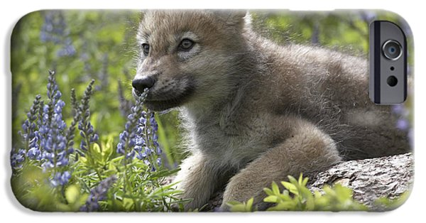 Vertebrata iPhone Cases - Gray Wolf Canis Lupus Pup Amid Lupine iPhone Case by Tim Fitzharris
