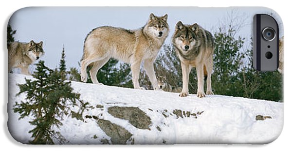 Dog In Landscape iPhone Cases - Gray Wolves Canis Lupus In A Forest iPhone Case by Panoramic Images