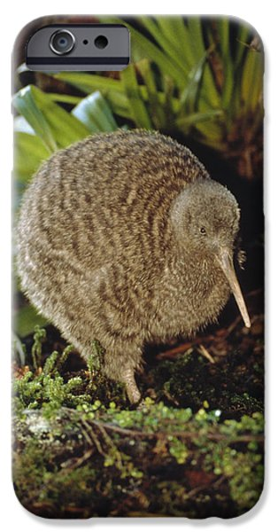 New Individuals iPhone Cases - Great Spotted Kiwi Apteryx Haastii Male iPhone Case by Tui De Roy