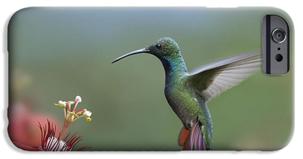 Passionflower iPhone Cases - Green Breasted Mango Hummingbird Male iPhone Case by Tim Fitzharris