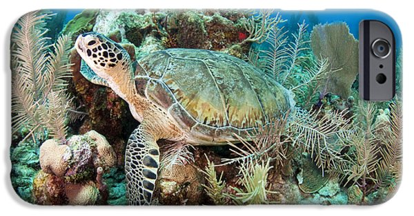 Undersea Photography iPhone Cases - Green Sea Turtle On Caribbean Reef iPhone Case by Karen Doody