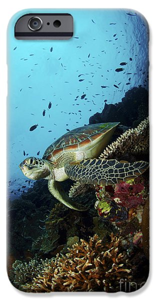 Undersea Photography iPhone Cases - Green Sea Turtle Resting On A Plate iPhone Case by Mathieu Meur