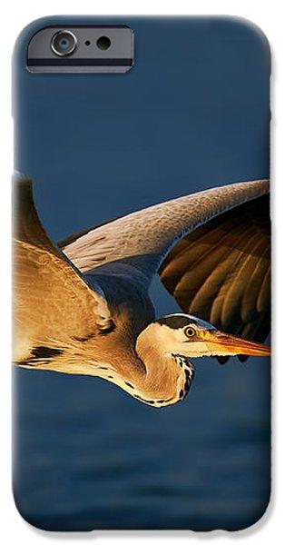 Grey heron in flight iPhone Case by Johan Swanepoel