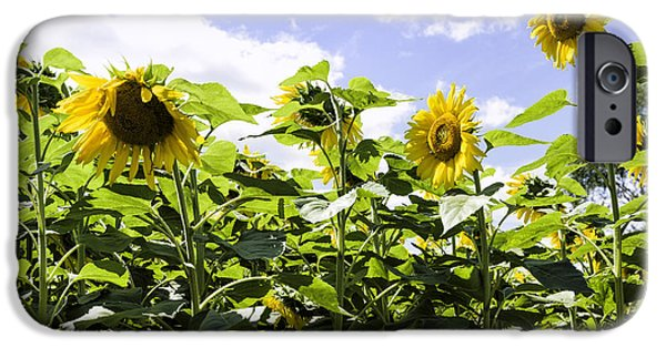 Griswold Ct iPhone Cases - Group of sunflowers iPhone Case by Fran Gallogly