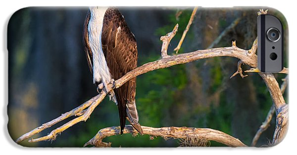 Ornithology iPhone Cases - Grumpy Osprey not Ready for its Picture iPhone Case by Andres Leon