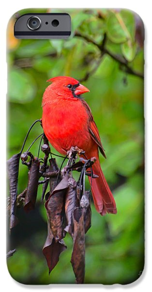 Leaves iPhone Cases - Handsome Fella - Male Cardinal iPhone Case by Kerri Farley