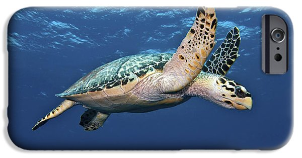 Color Image iPhone Cases - Hawksbill Sea Turtle In Mid-water iPhone Case by Karen Doody