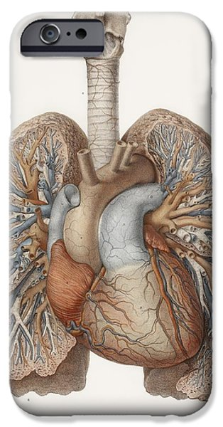 Airways Photographs iPhone Cases - Heart And Lungs, Historical Illustration iPhone Case by