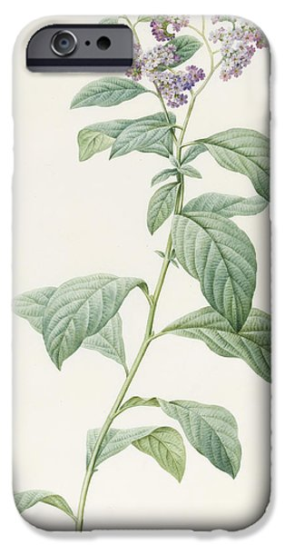 Flora Drawings iPhone Cases - Heliotropium Corymbosurn iPhone Case by Pierre Joseph Redoute