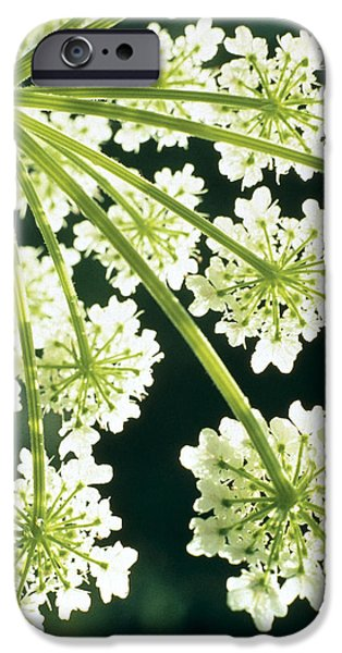 Blossom iPhone Cases - Himalayan Hogweed Cowparsnip iPhone Case by American School