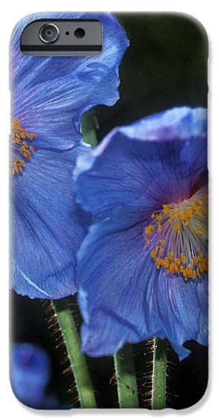 Himalayan Poppy (meconopsis Grandis) iPhone Case by Dr Keith Wheeler