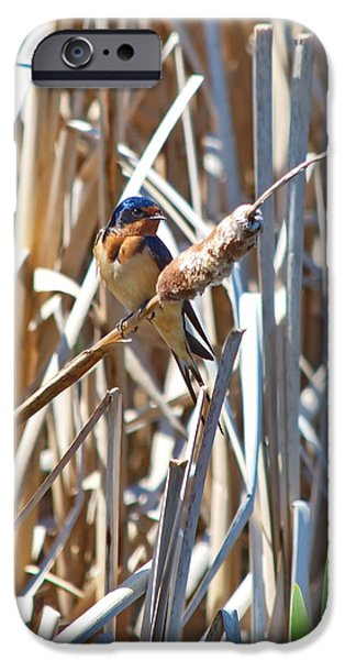 Barn Swallow iPhone Cases - Holding A Cattail iPhone Case by Crystal Massop