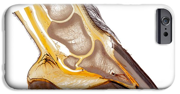 Feet Sculptures iPhone Cases - Horse hoof plastination 30210 iPhone Case by Christoph Von Horst