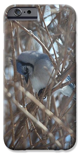 Wintertime iPhone Cases - Humble Winter Blue Jay  iPhone Case by Jari Hawk