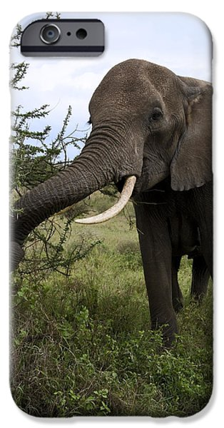 Elephants iPhone Cases - Hungry Elephant iPhone Case by Sally Weigand