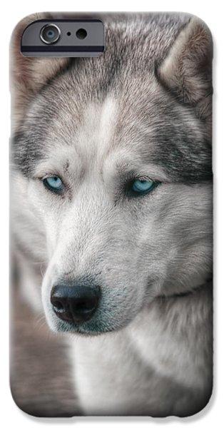 Huskies iPhone Cases - Husky dog  iPhone Case by Zita Stankova